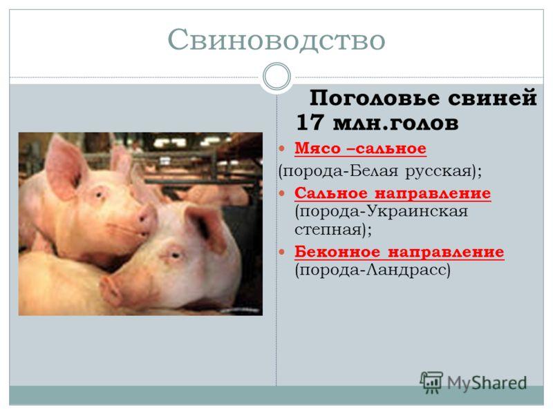Свиноводство Поголовье свиней 17 млн.голов Мясо –сальное (порода-Белая русская); Сальное направление (порода-Украинская степная); Беконное направление (порода-Ландрасс)