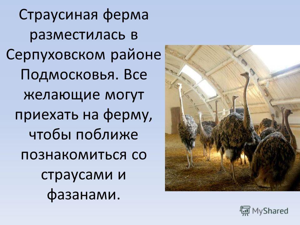 Страусиная ферма разместилась в Серпуховском районе Подмосковья. Все желающие могут приехать на ферму, чтобы поближе познакомиться со страусами и фазанами.