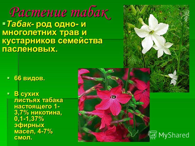 Растение табак 66 видов. 66 видов. В сухих листьях табака настоящего 1- 3,7% никотина, 0,1-1,37% эфирных масел, 4-7% смол. В сухих листьях табака настоящего 1- 3,7% никотина, 0,1-1,37% эфирных масел, 4-7% смол. Табак- род одно- и многолетних трав и к