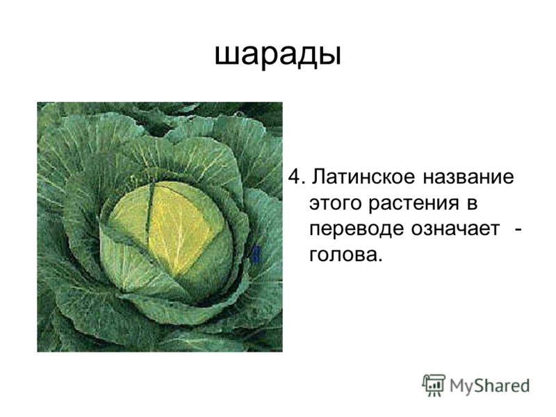 шарады 4. Латинское название этого растения в переводе означает - голова.