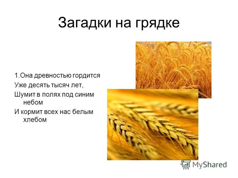 Загадки на грядке 1.Она древностью гордится Уже десять тысяч лет, Шумит в полях под синим небом И кормит всех нас белым хлебом