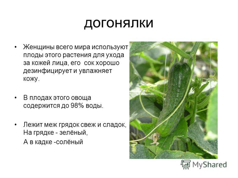 догонялки Женщины всего мира используют плоды этого растения для ухода за кожей лица, его сок хорошо дезинфицирует и увлажняет кожу. В плодах этого овоща содержится до 98% воды. Лежит меж грядок свеж и сладок, На грядке - зелёный, А в кадке -солёный