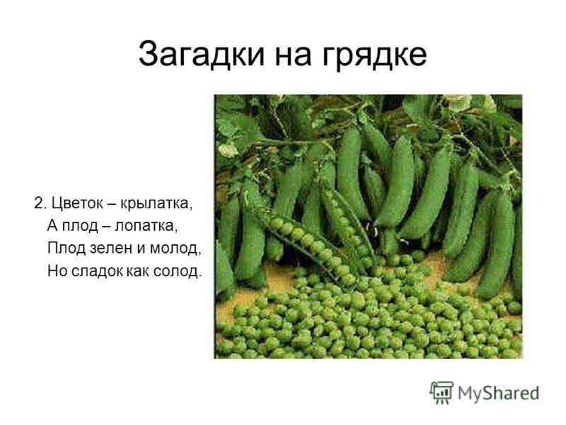 Загадки на грядке 2. Цветок – крылатка, А плод – лопатка, Плод зелен и молод, Но сладок как солод.