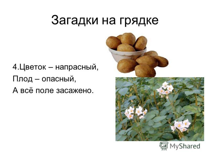 Загадки на грядке 4.Цветок – напрасный, Плод – опасный, А всё поле засажено.