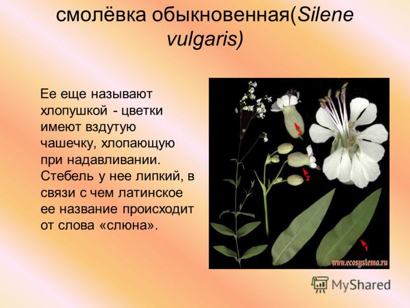 смолёвка обыкновенная(Silene vulgaris) Ее еще называют хлопушкой - цветки имеют вздутую чашечку, хлопающую при надавливании. Стебель у нее липкий, в связи с чем латинское ее название происходит от слова «слюна».