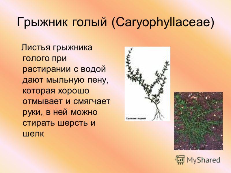 Грыжник голый (Caryophyllaceae) Листья грыжника голого при растирании с водой дают мыльную пену, которая хорошо отмывает и смягчает руки, в ней можно стирать шерсть и шелк