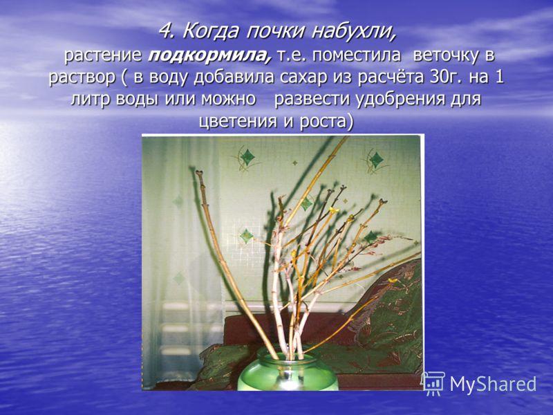 4. Когда почки набухли, растение подкормила, т.е. поместила веточку в раствор ( в воду добавила сахар из расчёта 30г. на 1 литр воды или можно развести удобрения для цветения и роста)