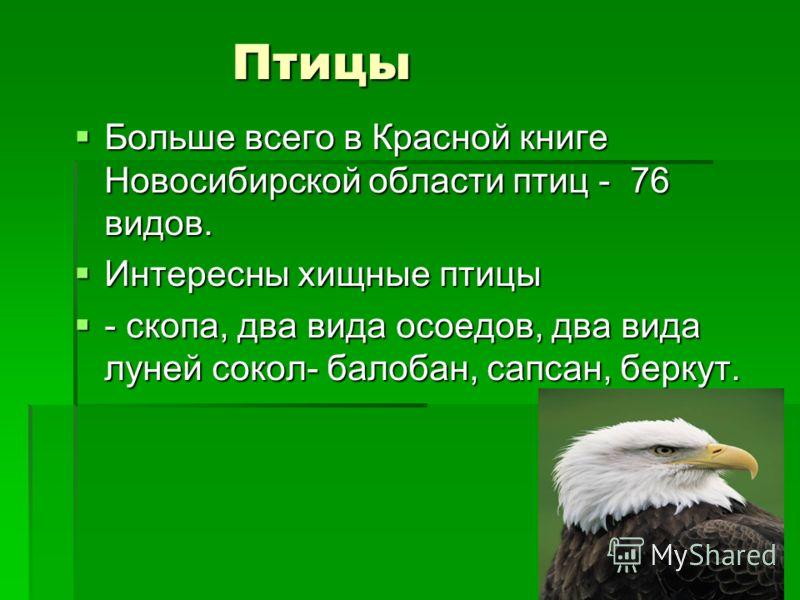 Птицы Больше всего в Красной книге Новосибирской области птиц - 76 видов. Больше всего в Красной книге Новосибирской области птиц - 76 видов. Интересны хищные птицы Интересны хищные птицы - скопа, два вида осоедов, два вида луней сокол- балобан, сапс