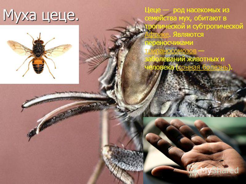 Муха цеце. Цеце род насекомых из семейства мух, обитают в тропической и субтропической Африке. Являются переносчиками трипаносомозов заболеваний животных и человека (сонная болезнь). Африке трипаносомозовсонная болезнь
