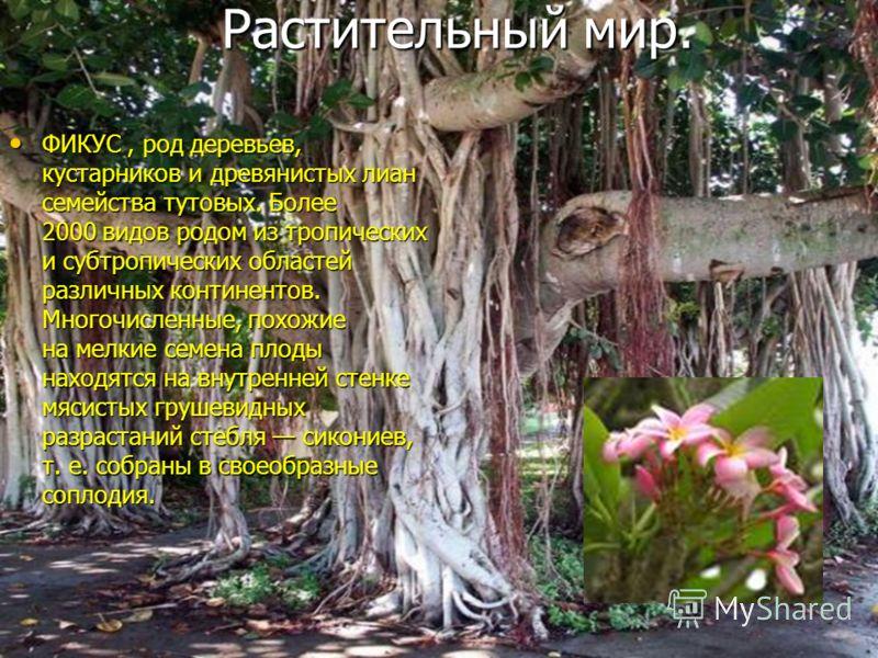 ФИКУС, род деревьев, кустарников и древянистых лиан семейства тутовых. Более 2000 видов родом из тропических и субтропических областей различных континентов. Многочисленные, похожие на мелкие семена плоды находятся на внутренней стенке мясистых груше