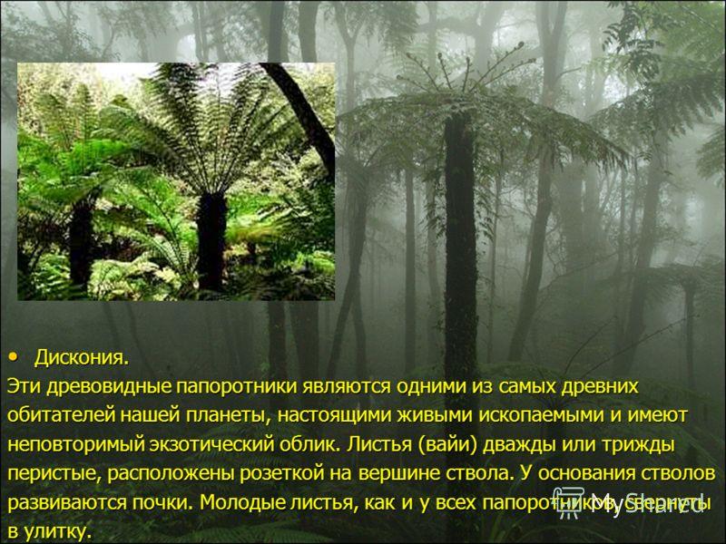 Дискония. Дискония. Эти древовидные папоротники являются одними из самых древних обитателей нашей планеты, настоящими живыми ископаемыми и имеют неповторимый экзотический облик. Листья (вайи) дважды или трижды перистые, расположены розеткой на вершин