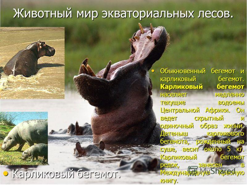 Животный мир экваториальных лесов. Обыкновенный бегемот и карликовый бегемот. Карликовый бегемот населяет медленно текущие водоемы Центральной Африки. Он ведет скрытный и одиночный образ жизни. Детеныш карликового бегемота, рожденный на суше, весит о
