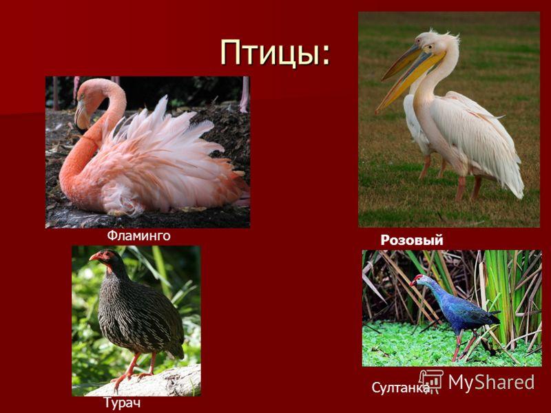 Птицы: Фламинго Розовый пеликан Турач Султанка