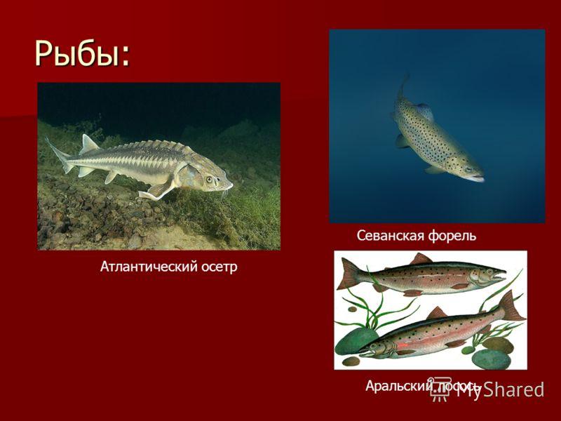 Рыбы: Атлантический осетр Севанская форель Аральский лосось