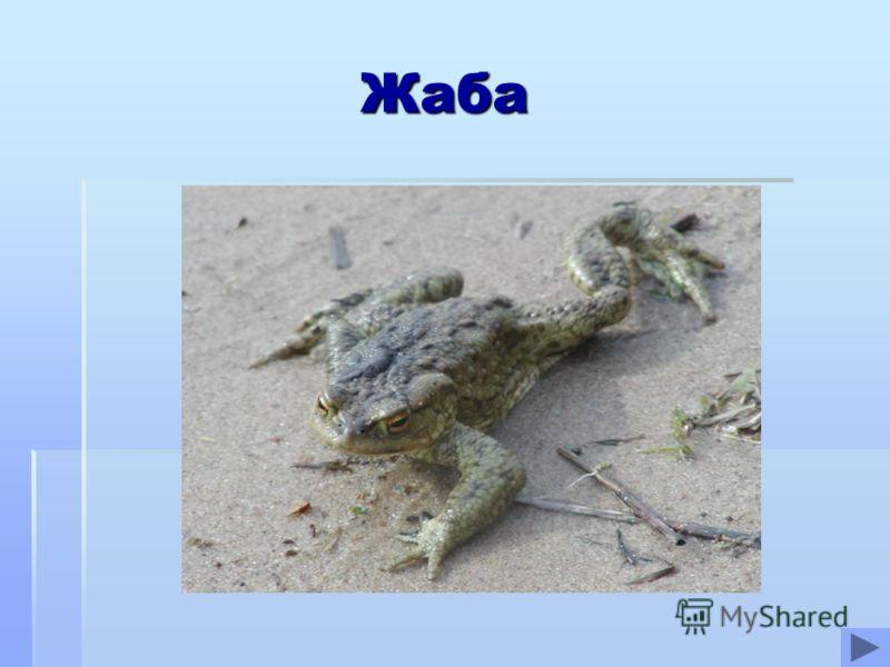 Жаба Жаба