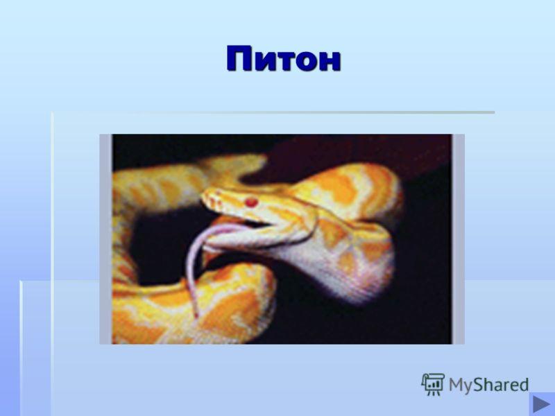 Питон Питон