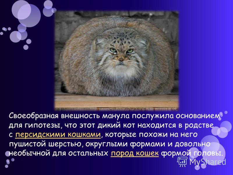 Своеобразная внешность манула послужила основанием для гипотезы, что этот дикий кот находится в родстве с персидскими кошками, которые похожи на него пушистой шерстью, округлыми формами и довольно необычной для остальных пород кошек формой головы.пер