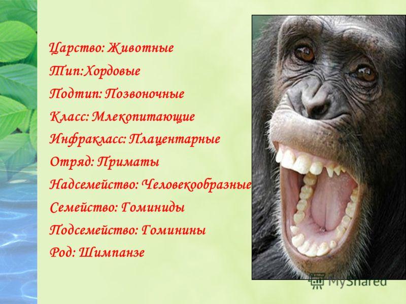 Царство: Животные Тип:Хордовые Подтип: Позвоночные Класс: Млекопитающие Инфракласс: Плацентарные Отряд: Приматы Надсемейство: Человекообразные Семейство: Гоминиды Подсемейство: Гоминины Род: Шимпанзе