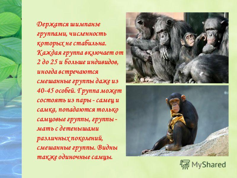 Держатся шимпанзе группами, численность которых не стабильна. Каждая группа включает от 2 до 25 и больше индивидов, иногда встречаются смешанные группы даже из 40-45 особей. Группа может состоять из пары - самец и самка, попадаются только самцовые гр