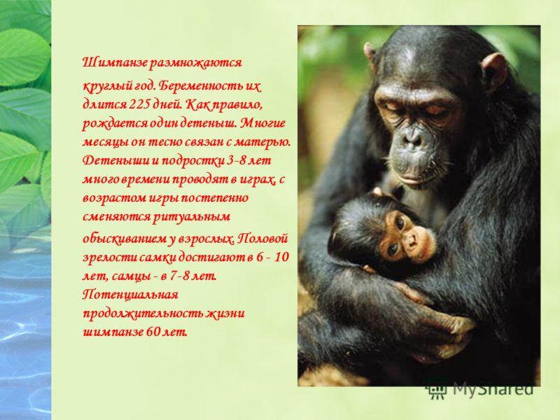 Шимпанзе размножаются круглый год. Беременность их длится 225 дней. Как правило, рождается один детеныш. Многие месяцы он тесно связан с матерью. Детеныши и подростки 3-8 лет много времени проводят в играх, с возрастом игры постепенно сменяются ритуа