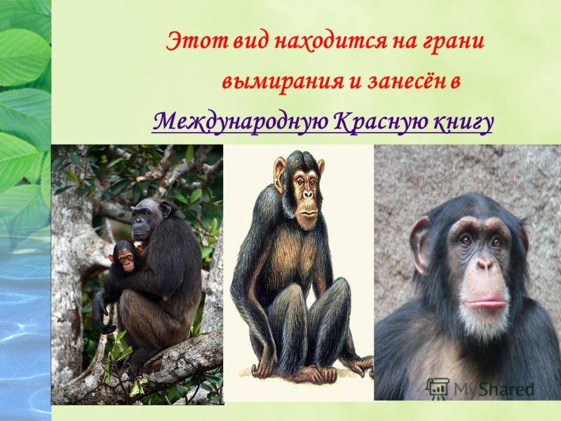 Этот вид находится на грани вымирания и занесён в Международную Красную книгу