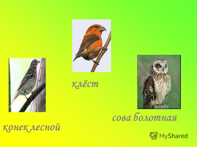 конек лесной клёст сова болотная