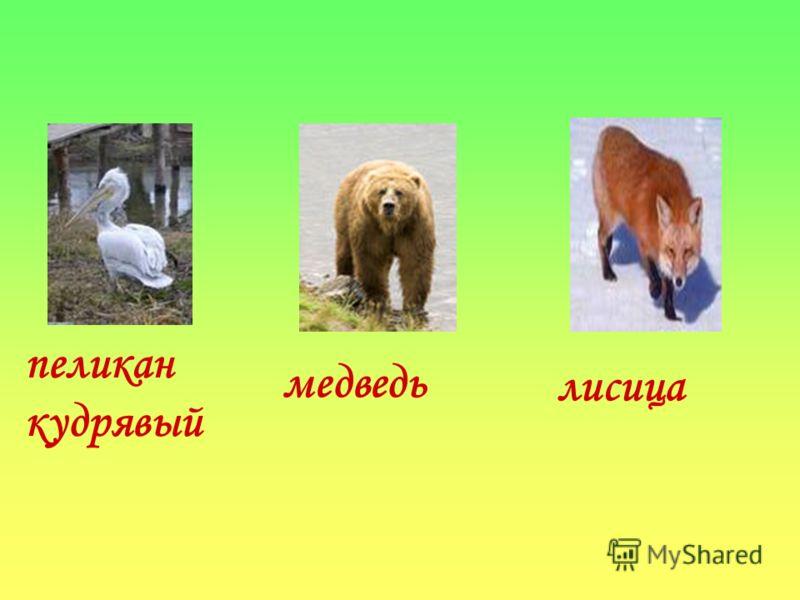 пеликан кудрявый медведь лисица