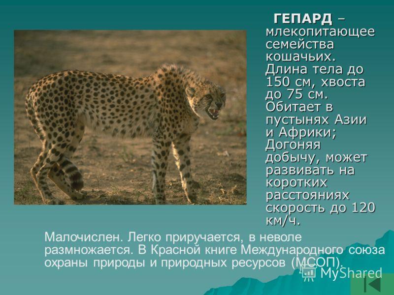 ГЕПАРД – млекопитающее семейства кошачьих. Длина тела до 150 см, хвоста до 75 см. Обитает в пустынях Азии и Африки; Догоняя добычу, может развивать на коротких расстояниях скорость до 120 км/ч. ГЕПАРД – млекопитающее семейства кошачьих. Длина тела до
