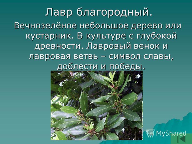 Лавр благородный. Лавр благородный. Вечнозелёное небольшое дерево или кустарник. В культуре с глубокой древности. Лавровый венок и лавровая ветвь – символ славы, доблести и победы.