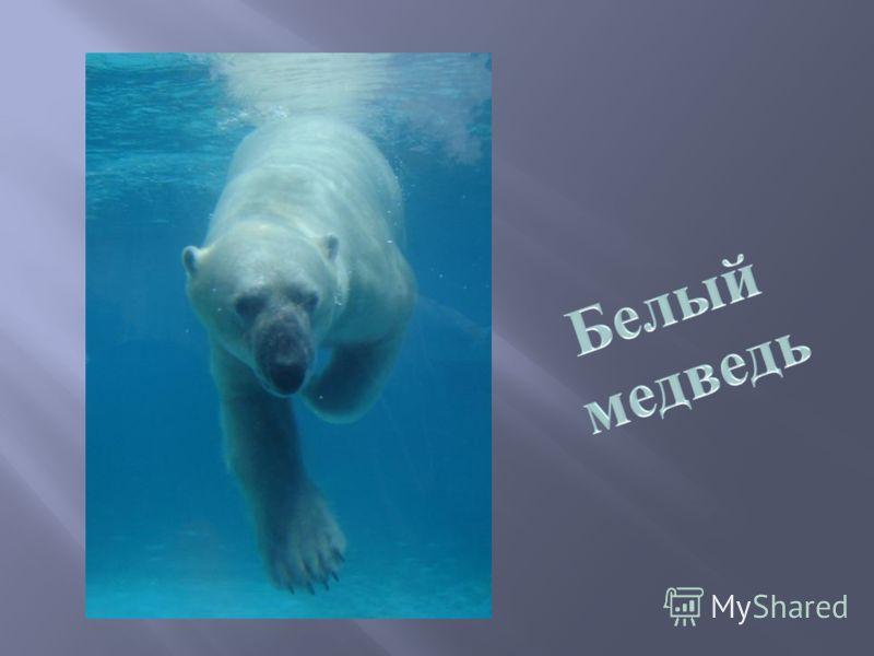Панда – бамбуковый медведь, символ Всемирного фонда дикой природы.