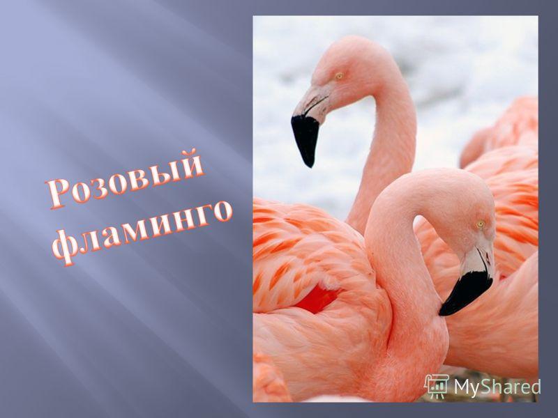 Байкальский осётр осётр