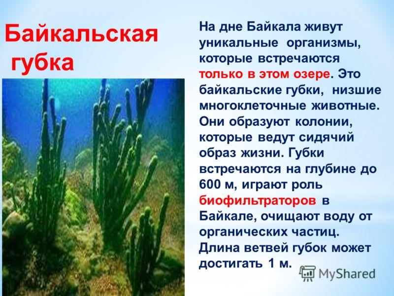 Байкальская губка На дне Байкала живут уникальные организмы, которые встречаются только в этом озере. Это байкальские губки, низшие многоклеточные животные. Они образуют колонии, которые ведут сидячий образ жизни. Губки встречаются на глубине до 600