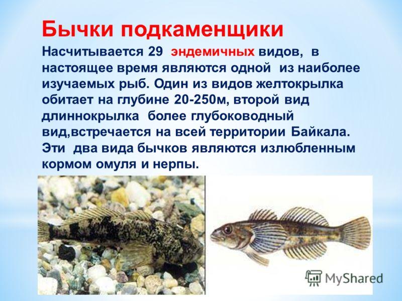 Бычки подкаменщики Насчитывается 29 эндемичных видов, в настоящее время являются одной из наиболее изучаемых рыб. Один из видов желтокрылка обитает на глубине 20-250м, второй вид длиннокрылка более глубоководный вид,встречается на всей территории Бай