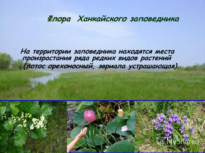 Флора Флора Ханкайского заповедника На территории заповедника находятся места произрастания ряда редких видов растений (лотос орехоносный, эвриала устрашающая).