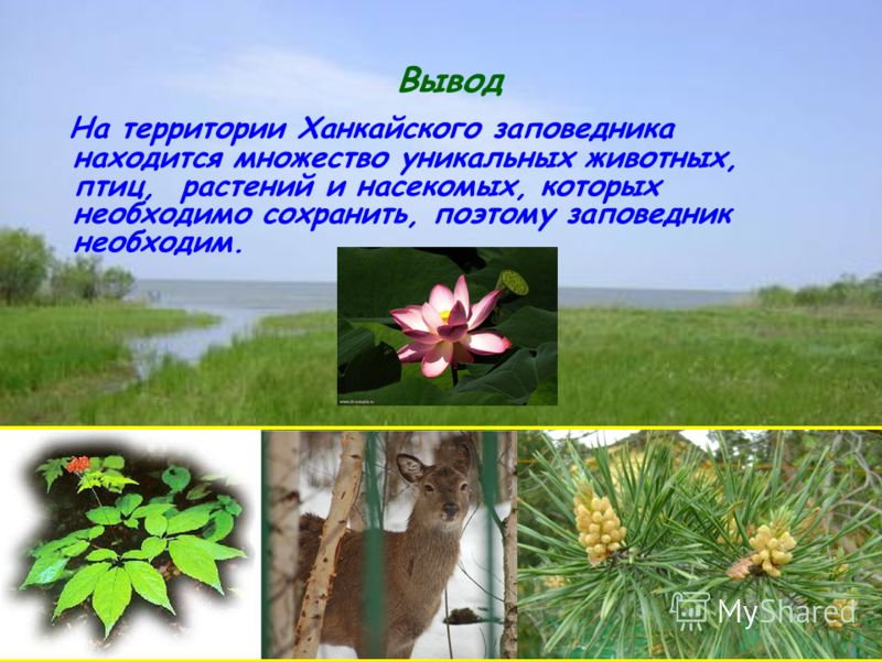 Вывод На территории Ханкайского заповедника находится множество уникальных животных, птиц, растений и насекомых, которых необходимо сохранить, поэтому заповедник необходим.