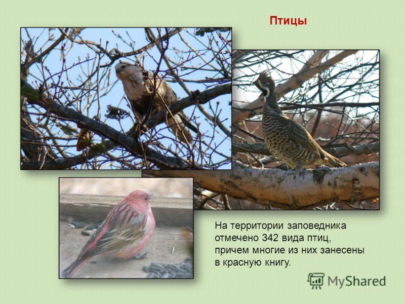 На территории заповедника отмечено 342 вида птиц, причем многие из них занесены в красную книгу. Птицы