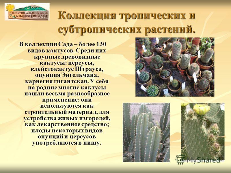 Коллекция тропических и субтропических растений. В коллекции Сада – более 130 видов кактусов. Среди них крупные древовидные кактусы: цереусы, клейстокактус Штрауса, опунция Энгельмана, карнегия гигантская. У себя на родине многие кактусы нашли весьма