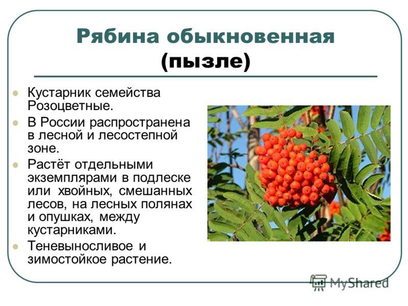 Рябина обыкновенная (пызле) Кустарник семейства Розоцветные. В России распространена в лесной и лесостепной зоне. Растёт отдельными экземплярами в подлеске или хвойных, смешанных лесов, на лесных полянах и опушках, между кустарниками. Теневыносливое
