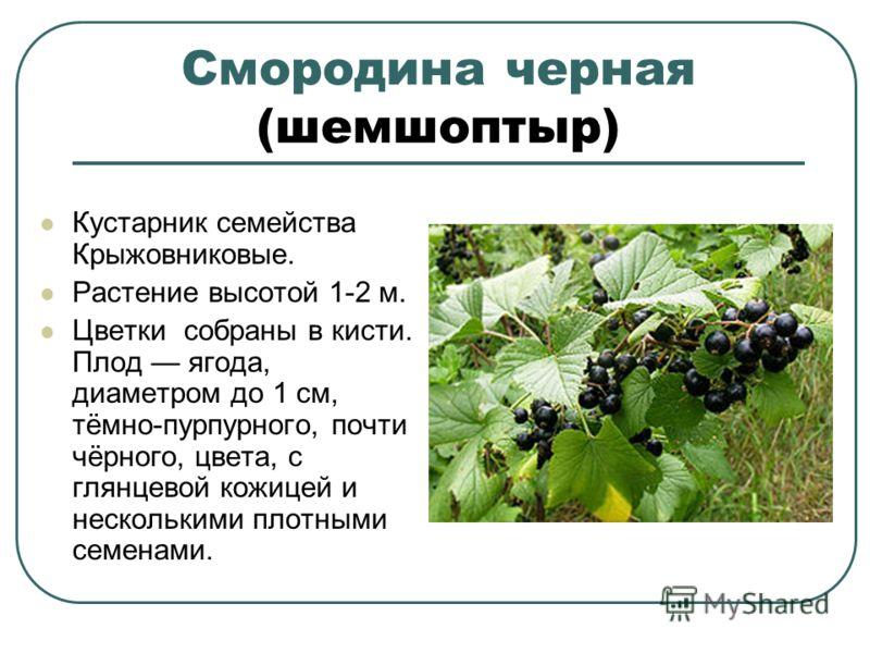 Смородина черная (шемшоптыр) Кустарник семейства Крыжовниковые. Растение высотой 1-2 м. Цветки собраны в кисти. Плод ягода, диаметром до 1 см, тёмно-пурпурного, почти чёрного, цвета, с глянцевой кожицей и несколькими плотными семенами.