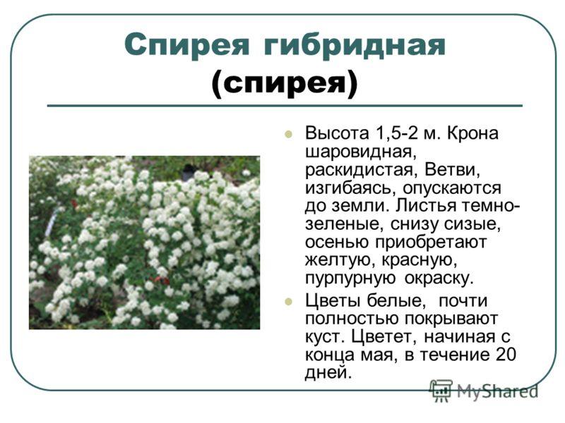Спирея гибридная (спирея) Высота 1,5-2 м. Крона шаровидная, раскидистая, Ветви, изгибаясь, опускаются до земли. Листья темно- зеленые, снизу сизые, осенью приобретают желтую, красную, пурпурную окраску. Цветы белые, почти полностью покрывают куст. Цв