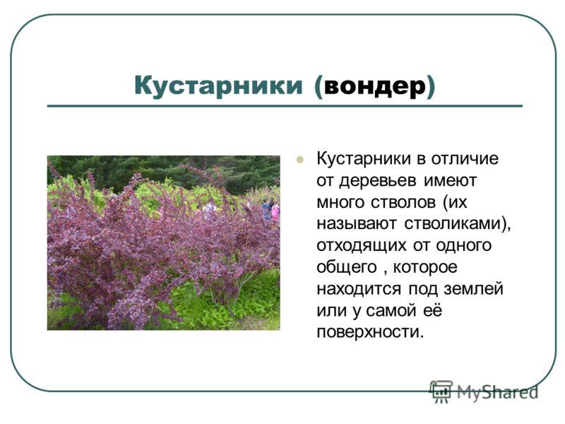 Кустарники (вондер) Кустарники в отличие от деревьев имеют много стволов (их называют стволиками), отходящих от одного общего, которое находится под землей или у самой её поверхности.