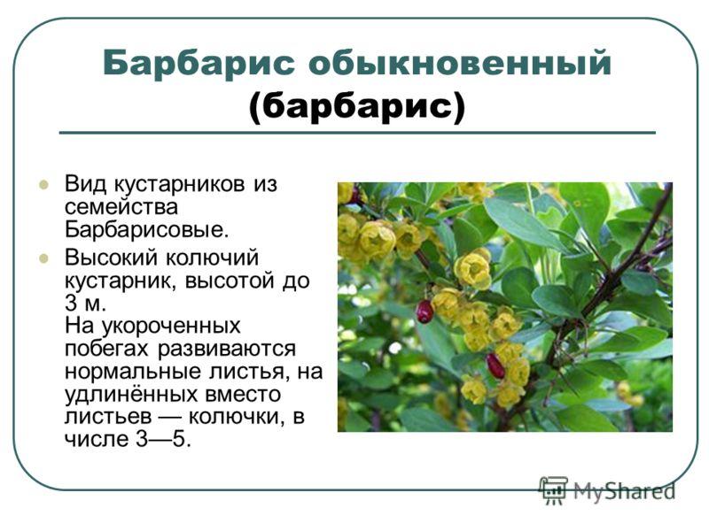 Барбарис обыкновенный (барбарис) Вид кустарников из семейства Барбарисовые. Высокий колючий кустарник, высотой до 3 м. На укороченных побегах развиваются нормальные листья, на удлинённых вместо листьев колючки, в числе 35.