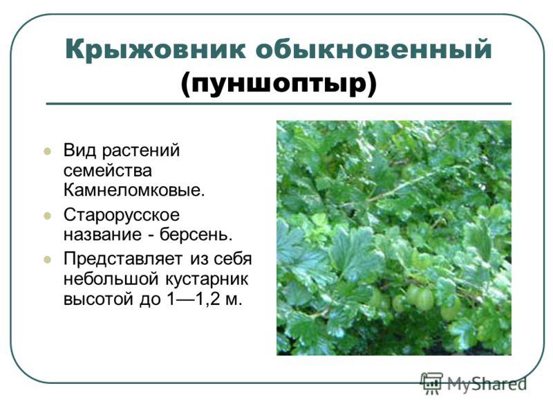 Крыжовник обыкновенный (пуншоптыр) Вид растений семейства Камнеломковые. Старорусское название - берсень. Представляет из себя небольшой кустарник высотой до 11,2 м.