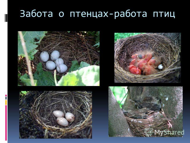Забота о птенцах-работа птиц