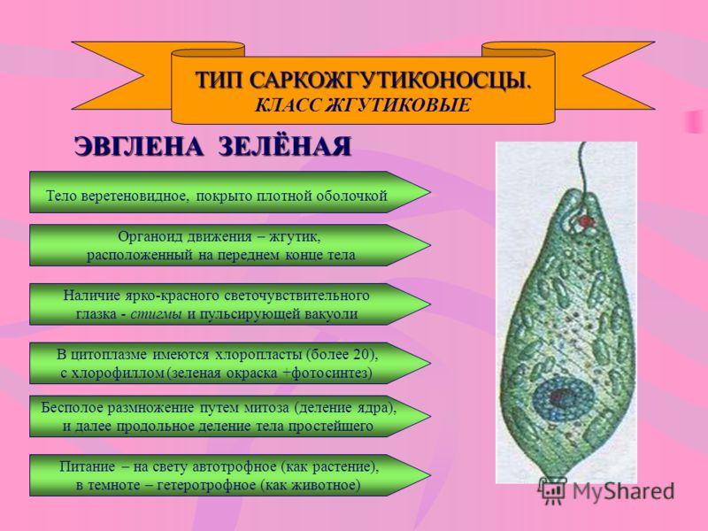 ТИП САРКОЖГУТИКОНОСЦЫ. КЛАСС ЖГУТИКОВЫЕ ЭВГЛЕНА ЗЕЛЁНАЯ Тело веретеновидное, покрыто плотной оболочкой Наличие ярко-красного светочувствительного глазка - стигмы и пульсирующей вакуоли В цитоплазме имеются хлоропласты (более 20), с хлорофиллом (зелен