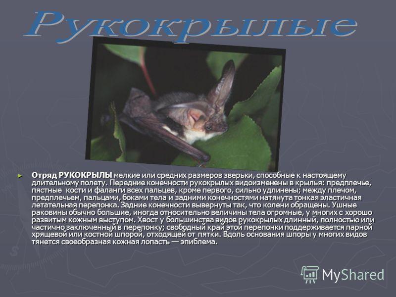 Отряд РУКОКРЫЛЫ мелкие или средних размеров зверьки, способные к настоящему длительному полету. Передние конечности рукокрылых видоизменены в крылья: предплечье, пястные кости и фаланги всех пальцев, кроме первого, сильно удлинены; между плечом, пред