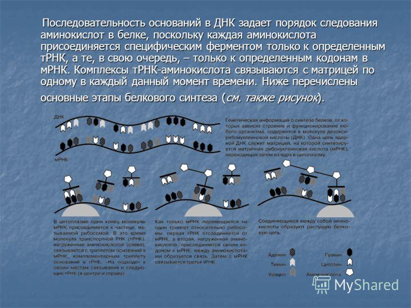 Последовательность оснований в ДНК задает порядок следования аминокислот в белке, поскольку каждая аминокислота присоединяется специфическим ферментом только к определенным тРНК, а те, в свою очередь, – только к определенным кодонам в мРНК. Комплексы