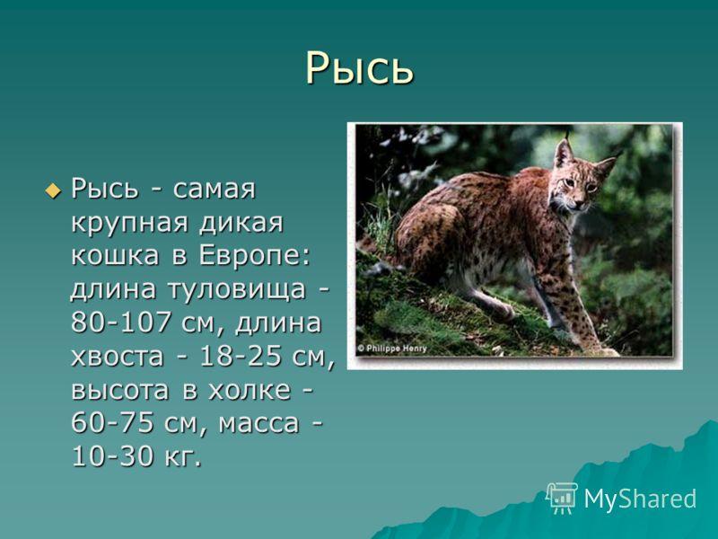 Рысь Рысь - самая крупная дикая кошка в Европе: длина туловища - 80-107 см, длина хвоста - 18-25 см, высота в холке - 60-75 см, масса - 10-30 кг. Рысь - самая крупная дикая кошка в Европе: длина туловища - 80-107 см, длина хвоста - 18-25 см, высота в