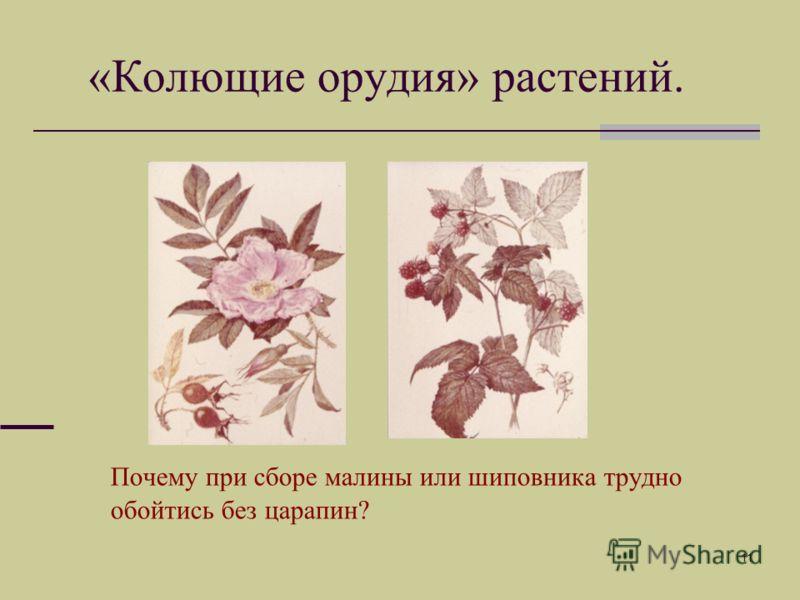 11 «Колющие орудия» растений. Почему при сборе малины или шиповника трудно обойтись без царапин?