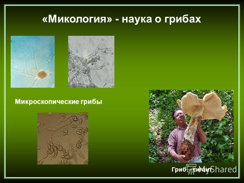 «Микология» - наука о грибах Микроскопические грибы Гриб - гигант